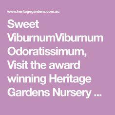 Sweet ViburnumViburnum Odoratissimum, Visit the award winning Heritage Gardens Nursery at East Maitland. We are the largest plant nursery in the Newcastle, Hunter Valley and Central Coast area. Garden Nursery, Plant Nursery, Front Yard Hedges, Central Coast, Large Plants, Newcastle, New England, Gardens, Sweet