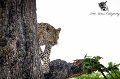 Another beautiful female Leopard I came across while being on drive. She was being lazy in a tree but when we arrived she decided to get down and disappear in the thick bush!  Did you know each Leopard has an unique spot pattern? The spots are also called rosettes. Thanks to this we're able to identify individuals.   #leopard #cats #wildlife #wildlifephotography #safari #africa #nature #conservation