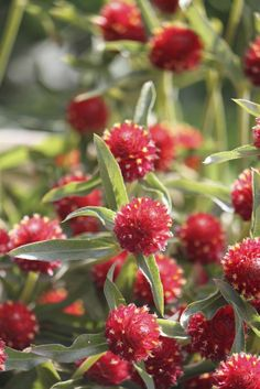 """Gomphrena globosa """"Strawberry Fields"""""""