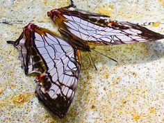 Cyrestis thyodamas - Okinawa rare butterfly by Okinawa Nature Photography, via Flickr