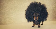 Crazy adorable Dachshund wearing an afro wig. Cute for halloween or any day your pup is feeling festive! Love My Dog, Funny Animals, Cute Animals, Baby Animals, Dachshund Love, Daschund, Dachshund Humor, Weenie Dogs, Doggies