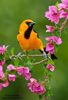 Altamira Oriole (Icterus gularis) by Alan Murphy. This oriole is widespread in subtropical lowlands of the Mexican Gulf Coast and northern Central America. They have since to southern Texas, but this was not until 1939.