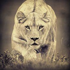 lioness - Google Search