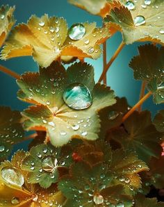 raindrops on alchemilla leaves