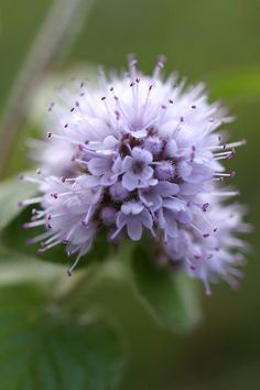 @Victoria Brown Brown!-SO DELICATE IS THIS FLOWER!Water Mint, Brittany – France