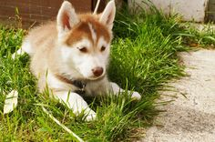 Rusty! my adorable puppy! 7 week old red siberian husky