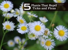 5 Plants That Repel Ticks and Fleas