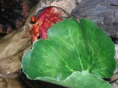 Strawberry Hermit Crabs. Strawberry Hermit Crabs are gentle creatures that make excellent pets.