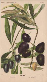 *The Graphics Fairy LLC*: Botanical - Olives