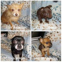 4 babies must leave asap. They are in highest danger! NINO (A1690248) LULU (A1690246) LISA (A1690245) TITO (A1690244) Miami Dade County Animal Services. https://www.facebook.com/urgentdogsofmiami/photos/pb.191859757515102.-2207520000.1428363880./958322417535495/?type=3&theater