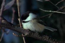Black-capped Chickadee12