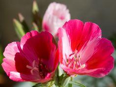 California Wild Flowers « California Native Flora