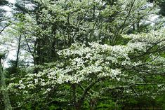 north american trees - Google Search