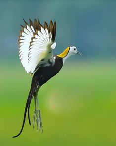 Pheasant-tailed Jacana (Hydrophasianus chirurgus) in India by Deep Ray. Pretty Birds, Beautiful Birds, Animals Beautiful, Birds In The Sky, Birds In Flight, Tropical Birds, Colorful Birds, Bird Pictures, Animal Pictures