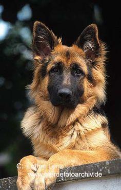 Altdeutsche Schaeferhund (the original German Shepherd)