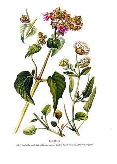 Botanical Print  Umbrella Wort Sand Verbena  by mysunshinevintage