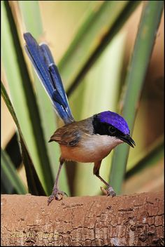 0505_0962 Purple Crowned Fairywren_Bourketown by alwynsimple, via Flickr