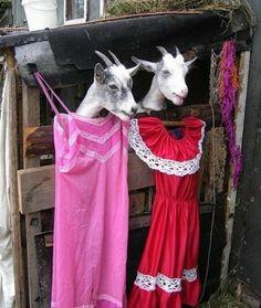 Aunque la cabra se vista de seda, cabra se queda