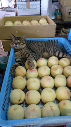 Fresh from the orchard and certified to be comfortable I Love Cats, Crazy Cats, Cool Cats, Animals And Pets, Funny Animals, Cute Animals, Kittens Cutest, Cats And Kittens, Ragdoll Kittens