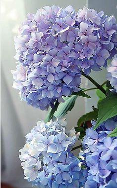 Blue hydrangea macrophylla I love all colors of hydrangeas . Hydrangea Macrophylla, Hortensia Hydrangea, Hydrangea Garden, Hydrangea Flower, Purple Hydrangeas, Blue Peonies, Delphinium, Bloom, Fresh Flowers
