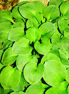 Small Hosta Cultivar Green Mouse Ears hosta makes a perfect companion with ˜Blue Mouse Ears'. This small hosta has thick substance and a rich green color Hosta Plants For Sale, Buy Plants, Shade Plants, Garden Insects, Garden Plants, Jardins D'hostas, Types Of Hostas, Trees To Plant, Plant Leaves