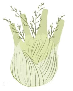 Fennel by Clare Owen Illustration, veg, drawing, design, colour, cooking, food