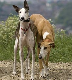 Greyhounds! I love these guys