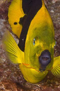 Butterfly Fish - ©Steve Williams (Jaw's Dad) www.flickr.com/photos/neptunesart/2716346914/