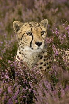 Cheetah in flowerbed by © Mariska Vermij-van Dijk