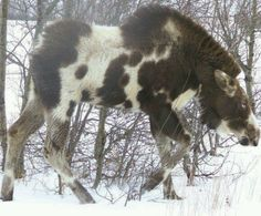 I think this speckled moose may have the albino gene. The eyes look like those seen on an albino animal Unusual Animals, Rare Animals, Animals And Pets, Funny Animals, Moose Pictures, Animal Pictures, Beautiful Creatures, Animals Beautiful, Albino Moose