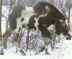 Strange piebald moose cow