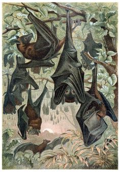 Flying foxes.  From Brehms Tierleben vol. 1 by Edmund Brehm, Leipzig, Vienna, 1893.  (Source: archive.org)