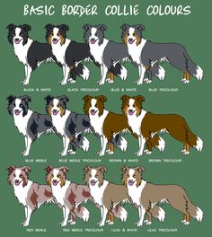 Border Collie colors, they also come in brindle and saddle and short and long…