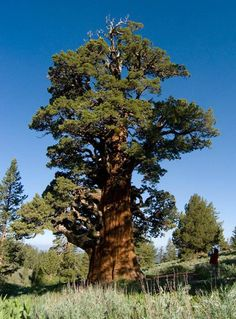The Bennett Juniper is a 3,000 to 6,000 yr old Western Juniper (J. occidentalis) growing in the Stanislaw National Forest in California.