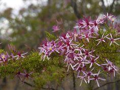 calytris exstipulata - Recherche Google Plants, Red, Google, Flowers, Australia, Plant, Royal Icing Flowers, Flower, Florals
