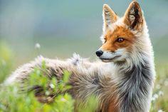 Crazy fox markings - beautiful!