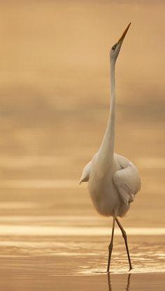 Graceful Great Egret