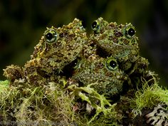 Theloderma corticale, Vietnamese Mossy Frog source http://tiny-creatures.tumblr.com/post/57717270740/opti-mytic-theloderma-corticale-vietnamese
