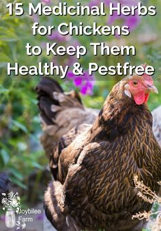Grow these 15 herbs for chickens near the chicken coop. They will improve immunity, keep them parasite free, reduce thei Easy Chicken Coop, Diy Chicken Coop Plans, Chicken Garden, Backyard Chicken Coops, Chicken Runs, Chicken Lady, Herbs For Chickens, Raising Backyard Chickens, Keeping Chickens