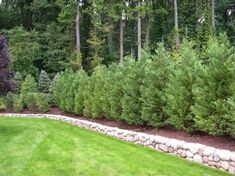 59 Ideas for backyard privacy landscaping trees evergreen Natural Privacy Fences, Privacy Fence Landscaping, Shrubs For Privacy, Garden Privacy Screen, Landscaping Trees, Backyard Fences, Privacy Hedge, Arborvitae Landscaping, Natural Landscaping