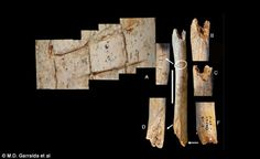 Cut marks seen on the thigh bone of the Neanderthal child. María Dolores Garralda, profess...