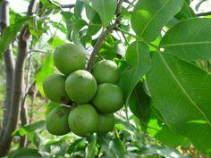 QUENETTES | http://caribfruits.cirad.fr/var/caribfruits/storage/images/fruits_des ...