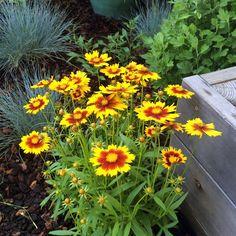 Coreopsis x hybrida 'Uptick Gold & Bronze' (tickseed) Back Patio, Love At First Sight, Cosmos, Garden Ideas, Bronze, Gardening, Landscape, Plants, Gold