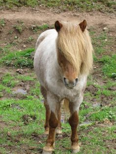 """The Farrah Look."" This is Strawberry Shortcake, or Shorty. He's a Shetland pony, who is currently up for adoption at  Hope Horse Rescue in northern Lancaster County, Pennsylvania. Click to find link the rescue's website from Cute Overload"