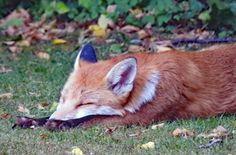 Fox, Animals, Animales, Animaux, Animal, Animais, Foxes