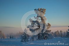 Photo about Winter landscape in Hedmark county Norway. Beautiful pine tree in the magic foggy december landscape. Image of beautiful, tree, landscape - 134530578 Pine Tree, Winter Wonderland, Norway, December, Magic, Stock Photos, Artwork, Beautiful