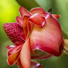 Torch ginger flower by Kelly Headrick on 500px