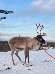 Reindeer in winter time in Lapland. Winter Time, Reindeer, Goats, Around The Worlds, Animals, Animaux, Animal, Animales, Goat