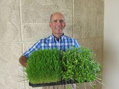 Los Potenciales Beneficios de Salud de la Hierba de Trigo o Wheatgrass