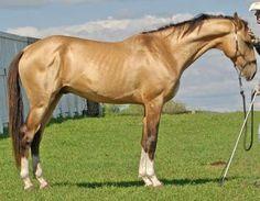 Caballo Akhal-Teké http://www.mascotadomestica.com/razas-caballos/caballo-akhal-teke.html